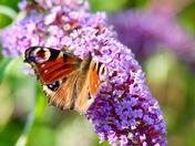 Butterfly gathering pollen