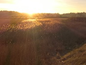 reed beds in the final rays of the sun