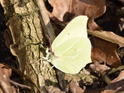 Bright Brimstone