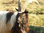 Bagot Goats a new edition to S.W.T.Knettishall nature reserve.