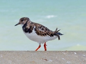 TURNSTONE AT SHERINGHAM ,