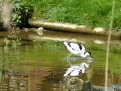 AVOCET AT PENSTHORPE