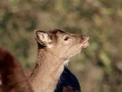 Valentine's deer
