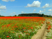 Poppy field, Trimley St Martin.