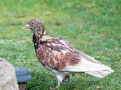Punk Rocker Pigeon