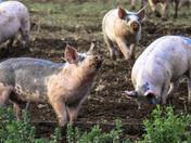 Happy free range Pigs