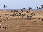 Stiffkey Geese