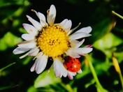Early ladybird