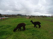 Black llamas at Darts Farm, Topsham