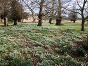 Oxborough Snowdrops