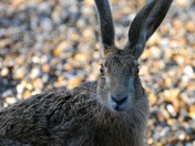 Close encounter with a hare