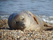 Seal At Horsey