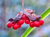 Last of the Winter Berries