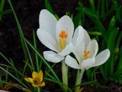 Crocus flower.