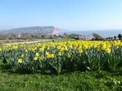 Daffodils - Peak Hill Sidmouth