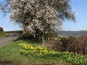 Beautiful spring blossom and daffs near Sidmouth