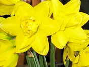 Spring has sprung beautiful daffodils