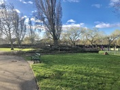 Two large trees blown down in Hylands Park, Hornchurch