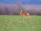Stretching Hare