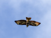 Buzzards flying over Harold hill