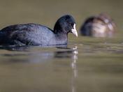 Ducks on Salhouse Broad