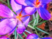 Blue/Purple Crocus Flowers
