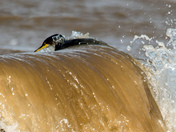 Cormorant fishing in the surf