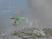 Movement -- The Kingfisher moves so fast I was so pleased to catch it on camera