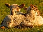 Stunning lambs