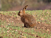 Hare at Brickling