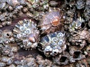 Project 52 Limpets and Barnacles