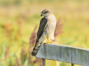 sparrowhawk resting between hunts.