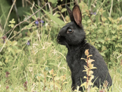 Little black wild Rabbit.