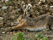 A beautiful Hare.