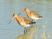 blacktailed godwit taken at nwt cley marsh.