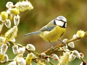Blue tit on the Pussy willow branch.