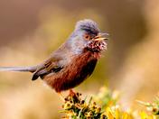 Dartford Warbler . Dunwich heath. Spring is here.
