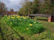 Hadleigh Daffodils