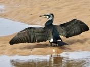 Beautiful feathers! Cormorant in full breeding plumage