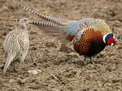 Pheasant courtship.