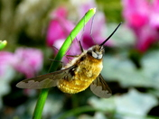 Bombyliidae or bee fly
