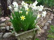 Daffodils in a garden pot.