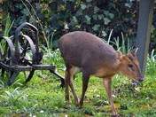 Muntjac visits garden