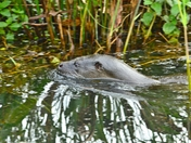 otter at nwt cley marsh.