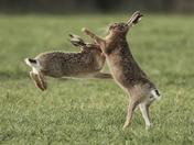 Acrobatic Hares.