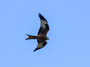 Red kite flying over Harold hill