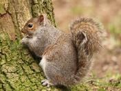 Squirrel having a breakfast of bread