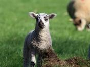 Lovely Spring Lamb