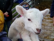 Really cute lamb.