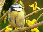Blue Tit in theGolden Spring blossom.(photo challenge)